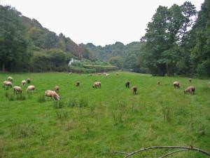 Sheep grazing damp pasture Mineshop Cornwall