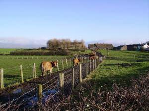 Cows Hillam Farm
