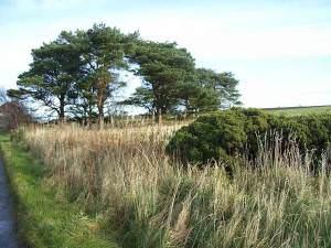 Pine trees near High Southward Edge