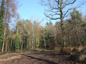 Commercial woodland near Woodbury