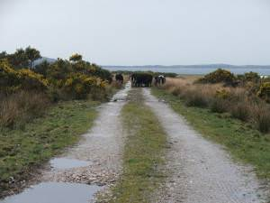 Cattle on farmtrack at Ballure.