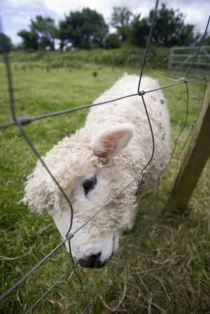Trevaskis Lamb