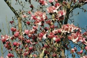 Magnolia Campbellii at Overbecks Garden