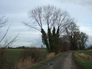 Trees on Park Road, west of Tydd St Giles
