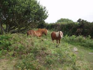 Shetland ponies on Godolphin Hill