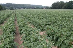 Crop of Potatoes near Whitney-on-Wye