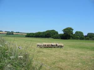 Sheep feeding near Brompton-by-Sawdon