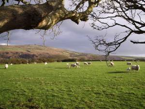 Spring lambs in Pembrokeshire