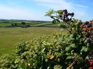 Ivy and blackberries near Dearswell