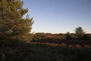 Natural regeneration of Pines on moorland