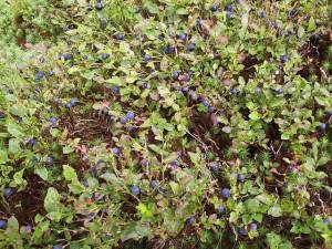 Whinberries at Rosebush