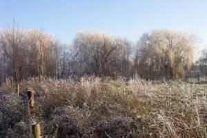 Frosted willows