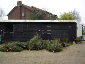 Christmas Trees for sale on Wigbeth Farm