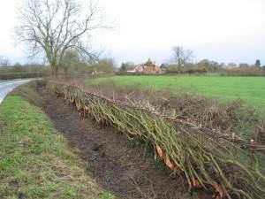 Newly laid hedge, entering Medbourne