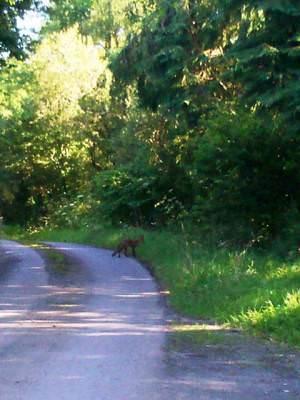 Fox in Trenewydd Lane, Llanteg