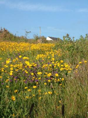 Cornish meadow