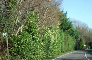 Roadside and high hedge in Lyons Gate