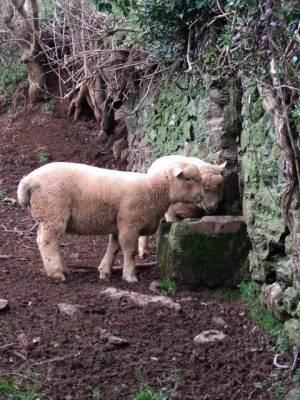 Lambs at Galmpton