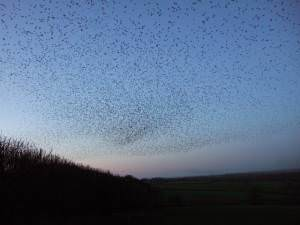 Starlings at Whiddon Down