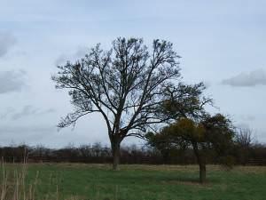 Bare trees and mistletoe