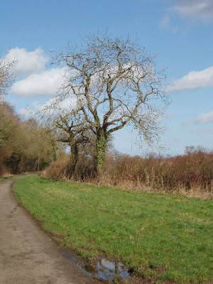 Tree by road verge