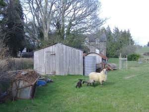 Spring lambs at Burnt Hengoed