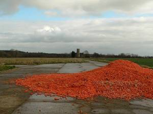 Carrots on the track to Haveringland church