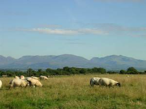 Sheep grazing near Brynteg, Anglesey