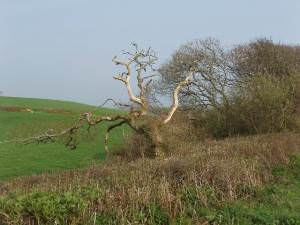 Dead tree in hedge