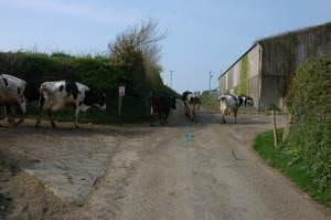 Milking cows at Herdacott