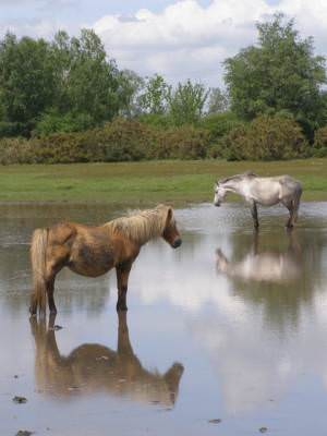 Ponies shading at Sturtmoor Pond, Plaitford Common, New Forest