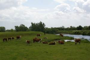 Cattle on the Upper Delphs
