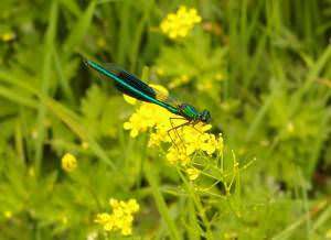 Banded Demoiselle by River Severn