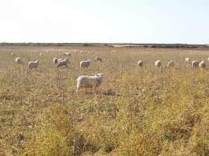 Sheep on rough pasture near Mawgan Porth