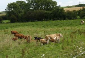 Cattle grazing on rough pasture at the edge of Cors Malltraeth