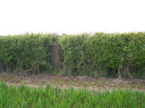 Trig Point hidden in a hedge!