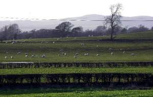 Sheep near Lochmaben