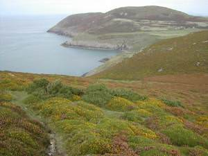 Heather covered hillside near Porth Llanllawen
