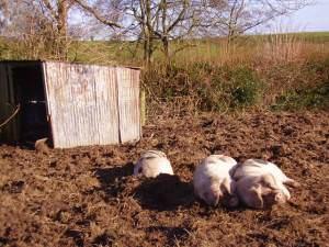 Piggy heaven