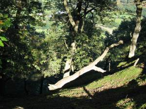 Trees near Cwm-y-Rhaider (River Towy in background)