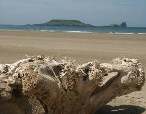 upturned root on Rhossili beach