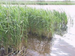 Reeds, Slapton Ley