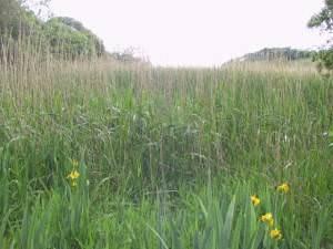 Marsh Vegetation, Slapton Ley