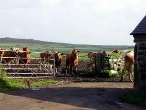 Milking time at Keigwin