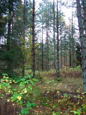 Woodland beside the Tilt.