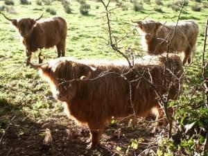 Highland cows, Easton