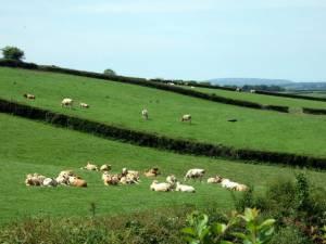 Dairy cows at Blaengwyddon