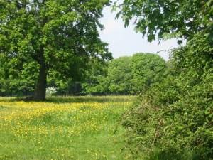 Buttercup meadow adjacent to Westwood, Netley Abbey