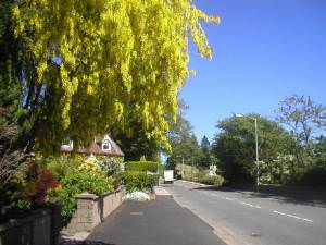 Laburnum Tree at Peterculter